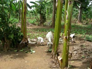 Nanny goats and kids among the banana and bean plants at Lowero FLP model home